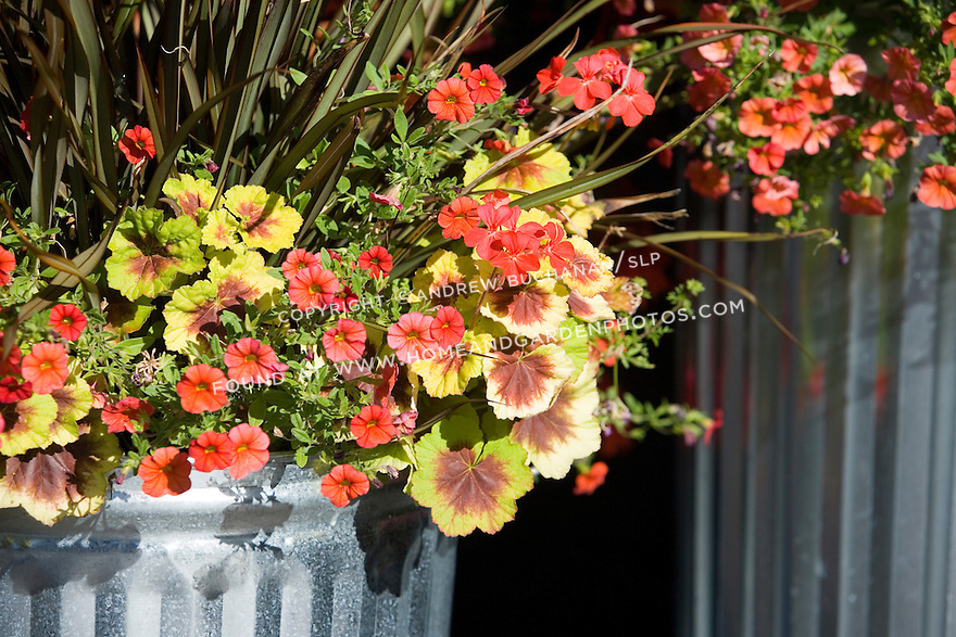 A colorful, tight detail of the edge of a shiny new galvanized trash can used as a creative container to hold a beuatiful array of annuals and perennials featuring the zonal geranium (Pelargonium) 'Indian Dunes', with negative space for text.