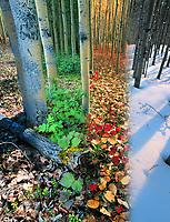 DIGITAL COMPOSITE: Boreal forest of aspen trees in four seasons, Fairbanks, Alaska