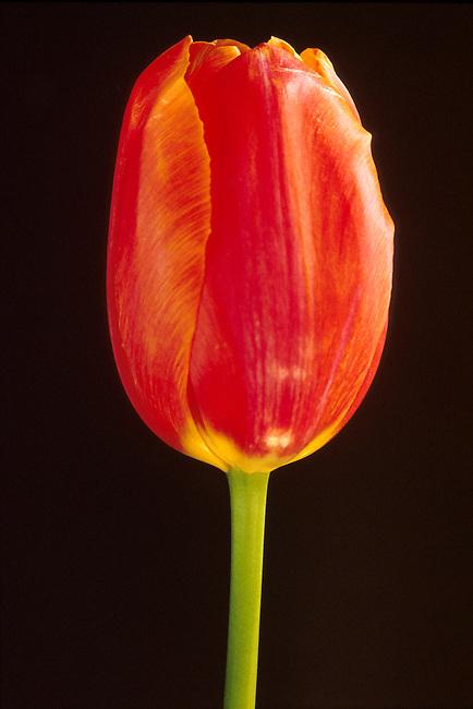 Tulipe *** Tulip
