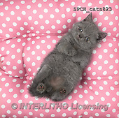Xavier, ANIMALS, REALISTISCHE TIERE, ANIMALES REALISTICOS, cats, photos+++++,SPCHCATS823,#A#