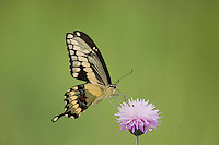 Giant Swallowtail (Papilio cresphontes), adult feeding on texas thistle, Sinton, Corpus Christi, Coastal Bend, Texas, USA