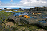 A young pup nurses on the lava coast of the island Santiago in the Galápagos Islands. Santiago was a favorite island for pirates and whalers, and has a long human history. In recent decades about 80,000 feral goats were eradicated returning the island to endemic species..