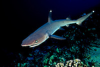WHITETIP REEF SHARK Triaenodon obesus  HAWAII. predator dangerous menacing deadly hazardous cartilaginous horizontal underwater