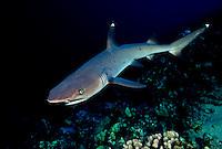 WHITETIP REEF SHARK Triaenodon obesus  HAWAII. predator dangerous menacing deadly hazardous cartilaginous horizontal underwater