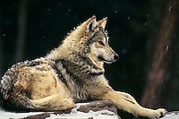 Mexican Wolf or Mexican Gray Wolf (Canis lupus baileyi)