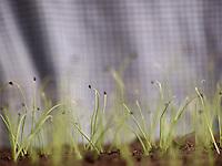 Farms and Gardens Rockland County NY, Onion sprouts in the greenhouse, Camp Hill Farm, Pomona, NY