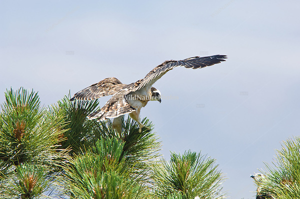 Short-tailed Hawk (Buteo brachyurus) nestling, exercising in nest, preparing to fledge; Arizona (Nesting Record)