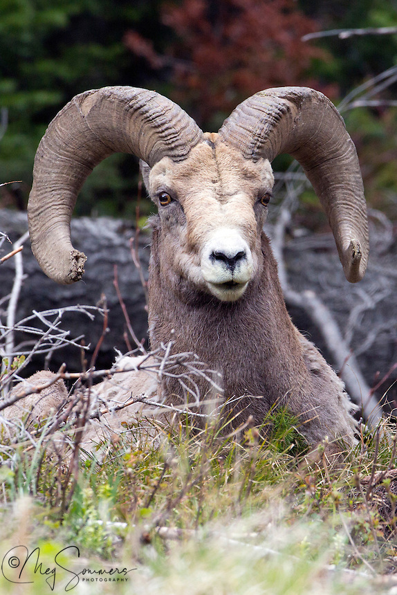 This Bighorn (Ovis canadensis) ram shows the scars of battle in the worn tips of his horns.