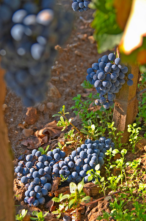 Bunches of  Merlot grapes on the ground , green harvest or crop thinning, at Chateau la Grave Figeac, Saint Emilion, Bordeaux - Chateau La Grave Figeac, Saint Emilion, Bordeaux