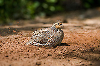 509250067 a wild female northern bobwhite colinus virginianus scratches and rustles the ground for feed in the lower rio grande valley of south texas