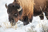 USA, Wyoming, Yellowstone National Park, bison digging for food in the Lamar Valley