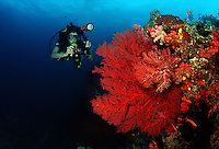 This photographer (MR) aims her lens at one of Fiji's countless reef scenes with anthias and a gorgonian coral fan. Fiji.
