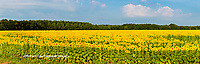 63801-06905 Sunflower field Sam Parr State Park Jasper County, IL