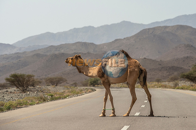 Road hazards during Stage 5 of the 10th Tour of Oman 2019, running 152km from Samayil to Jabal Al Akhdhar (Green Mountain), Oman. 20th February 2019.<br /> Picture: ASO/Kåre Dehlie Thorstad | Cyclefile<br /> All photos usage must carry mandatory copyright credit (© Cyclefile | ASO/Kåre Dehlie Thorstad)