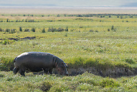 Hippopotamus, Hippopotamus amphibius, approaches a small stream in Ngorongoro Crater, Ngorongoro Conservation Area, Tanzania