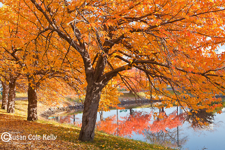 Fall color in the Yoshino Cherries on the Charles River Esplanade, Boston, MA, USA