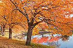 Fall color in the Yoshino Cherries on the Charles River Esplanade, Boston, MA, USA