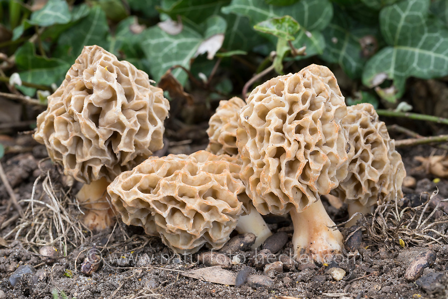 Speisemorchel, Speise-Morchel, Rundmorchel, Rund-Morchel, Morchel, Speisemorcheln, Morcheln, Morchella esculenta, Morellus esculentus, common morel, morel, yellow morel, true morel, morel mushroom, sponge morel, morels, la Morille comestible