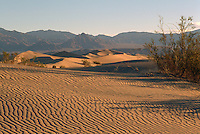 Death Valley National Park, California, CA, USA - Creosote Bush (Larrea tridentate) on Mesquite Flat Sand Dunes, near Stovepipe Wells, at Sunrise - Funeral Mountains in Distance