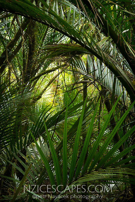 Nikau palm leaves in Punakaiki, Paparoa National Park, West Coast, New Zealand