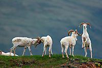 Dall Sheep (Ovis dalli dalli) rams in Polychrome Pass, Denali National Park, Alaska