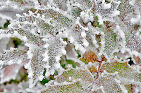 Oregon Grape with hoar frost. Wilsonville. Oregon