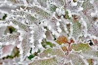 Oregon Grape with hoar frost. Wilsonville. Oregon