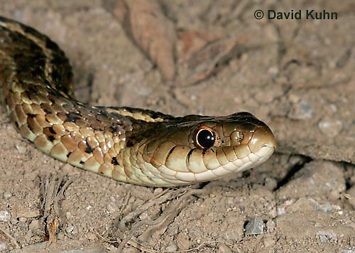 "1211-07mm  Eastern Garter Snake - Thamnophis sirtalis ""Mount Rogers in Virginia"" - © David Kuhn/Dwight Kuhn Photography"