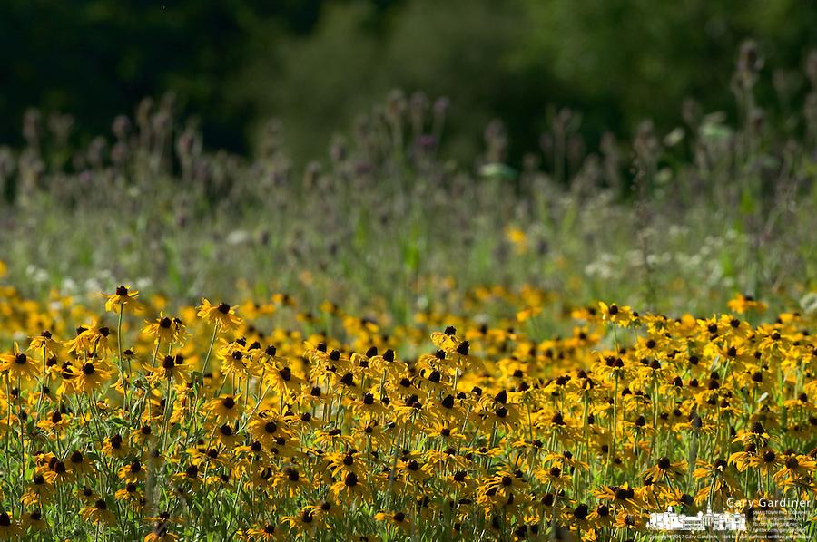 Field of black eyed susans growing in county park prairie