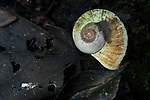 Snail (Neocyclotidae) shell, Cocobolo Nature Reserve, Mamoni Valley, Panama