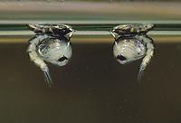 Gemeine Stechmücke, Nördliche Hausmücke, Puppe, Puppen hängen an der Wasseroberfläche, Culex pipiens, common house mosquito, common gnat, house gnat, Le Moustique commun, Maringouin domestique, Stechmücken, Culicidae