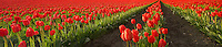 Field of red tulips panormia. Near Mt. Vernon. Washington