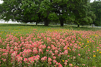 Indian Paintbrush (Castilleja miniata), Mixed wildflower field, Floresville, Texas, USA