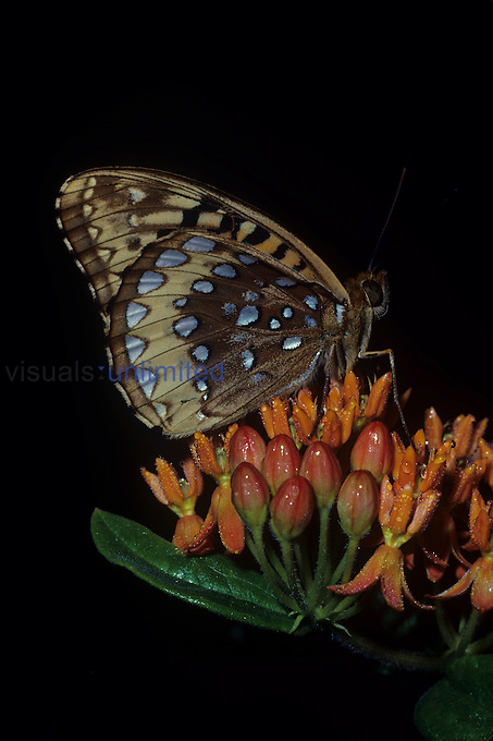 Great Spangled Fritillary ,Speyeria cybele, on Milkweed flowers ,Asclepias,.