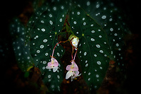 Close up of Begonia (Polka Dot). Hoomaluhia Botanical Gardens. Oahu, Hawaii