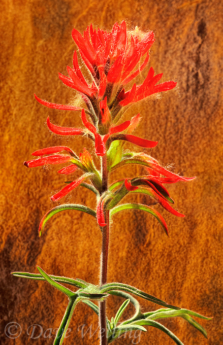 163980001 a wild narrowleaf paintbrush wildflower castilleja linariifolia blossoms with a bright red flower bract against a red rock sandstone wall in zion national park utah united states