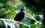 Violet Turaco, Musophaga violacea, in forest, colourful blue with red head.Africa....