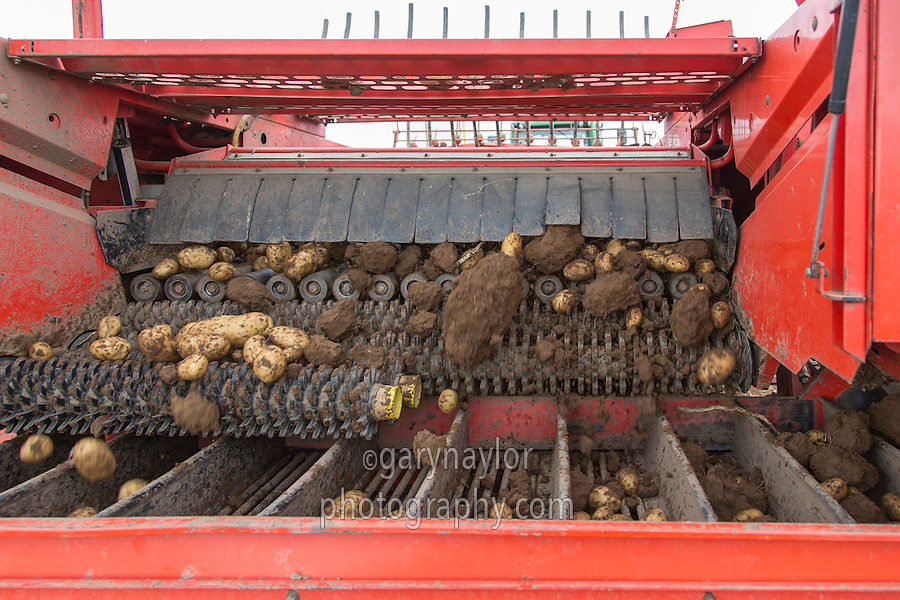 Potato harvester harvesting in cloddy conditions; harvetsr fitted with RS cleaning system - September, Lincolnshire