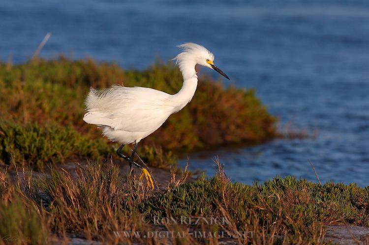 Snowy Egret at Sunset Bolsa Chica Wildlife Refuge Southern California