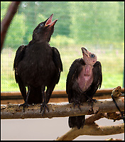 BNPS.co.uk (01202 558833)<br /> Pic: PhilYeomans/BNPS<br /> <br /> Normal Jackdaw next to the featherless Jackula...<br /> <br /> The Grim Tweeter!<br /> <br /> Meet 'Jackula' - the unfortunate Jackdaw whose lack of feathers have left him looking at best, like Uncle Fester from the Addams Family, or at worst like Klaus Kinski's Dracula.<br /> <br /> The juvenile bird was discovered in a garden with a bizarre cape of jet black feathers which stopped at its neck.<br /> <br /> Due to genetic alopecia its head, beak and chest area are entirely bald, giving it the appearance of a tiny vulture.<br /> <br /> It was handed to the Folly Wildlife Rescue Centre in Tunbridge Wells, Kent, where staff have taken the unfortunate bird to their hearts.