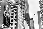 "NEW YORK - USA 1999. A PIGEON FLIES ACROSS THE SKYLINE BETWEEN SKY SCRAPERS. AN ADVERTISEMENT FOR CIGARETTES; ""THE PLEASURE IS BACK""  IS  PAINTED ONTO THE SIDE OF AN OLD APARTMENT BUILDING, AND IS NOW HALF HIDDEN BY MORE RECENT ADDITIONS TO THE MIDTOWN SKYLINE."