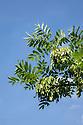 Ash Tree {Fraxinus excelsior} leaves and keys, Derbyshire, UK. July.