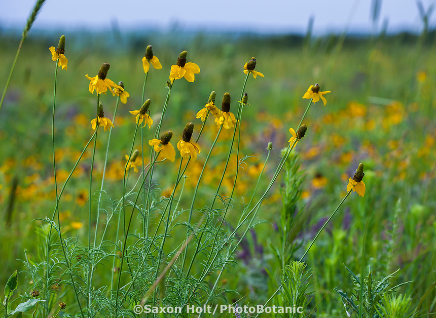 Ratibida columnifera Mexican Hat or Long-headed Coneflower native plant wildflower in Tallgrass Prairie Preserve, Oklahoma