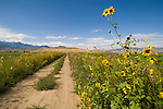 Two-track country road lined with annual yellow sunflowers and lavender (purple) bee plants, Circleville, Utah.