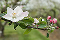 "Apple 'Baldwin' blossom, early May. An American dessert apple. ""The 'Baldwin' is believed to have originated as a chance seedling on the farm of John Ball, near present-day Wilmington, Massachusetts sometime around 1740.  The ""discovery"" of the apple however, is commonly credited to a man by the name of William Butters, who later come into possession of the farm and named the apple the 'Woodpecker' or 'Pecker' for short, in honor of the many Woodpeckers he observed frequenting the tree.  Even after it's naming however, the apple largely remained unknown until a local surveyor by the name of Deacon Samuel Thompson, encountered the tree and brought the apples to the attention of Loammi Baldwin.  Baldwin a Colonel and an engineer on the Middlesex Canal, took a liking to the apple and is largely responsible for it's propagation and further introduction into other parts of New England. The apple held prominence in New England and other parts of the Northeast, including New York, throughout the 19th century.  However, by the early 1900s the Baldwin began to loose favor as an eating apple, being replaced by the 'Jonathan'.  It's plight was not helped by an especially cold winter in 1934 that wiped out entire 'Baldwin' orchards in many parts of New England.  After this massacre, many of the orchards were either never replanted or were replaced by new cultivars.  Because of its desirability as a cider apple, however, it can still be found in many parts of the Northeastern United Sates.""<br /> http://appleharvester.blogspot.co.uk/2010/04/story-of-apple-baldwin.html"