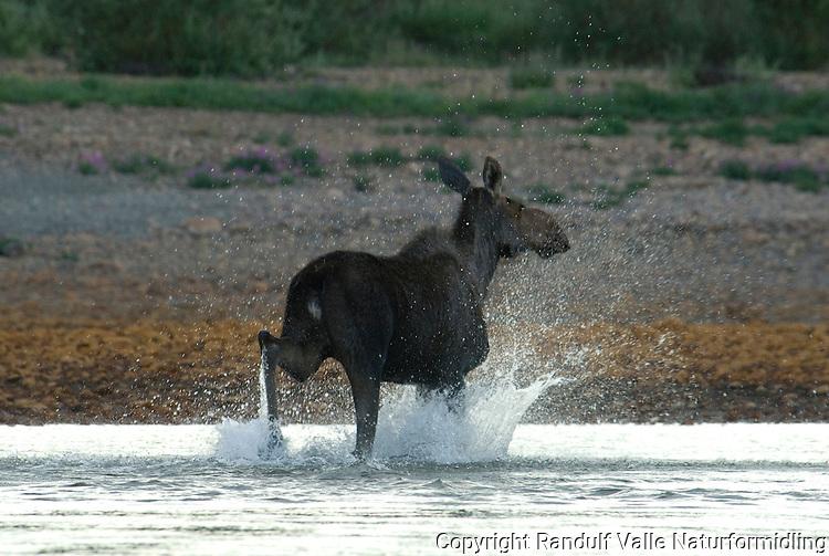 Elg løper i vann. ---- Moose running in water.