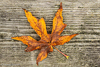 Finding most of the leaves of this Big Leaf Maple on the ground indicates that fall is about over.  The shape of the leaf is marvelous to examine closely.