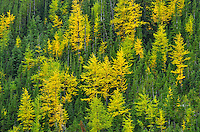 Western larches in autumn color<br /> Kananaskis Country<br /> Alberta<br /> Canada