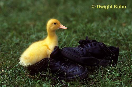 DG20-119z  Pekin Duck - ten day old duckling playing