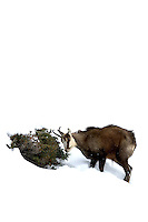 Chamois buck in the snow eating from a small bush